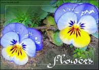 fleurs-pensees-1